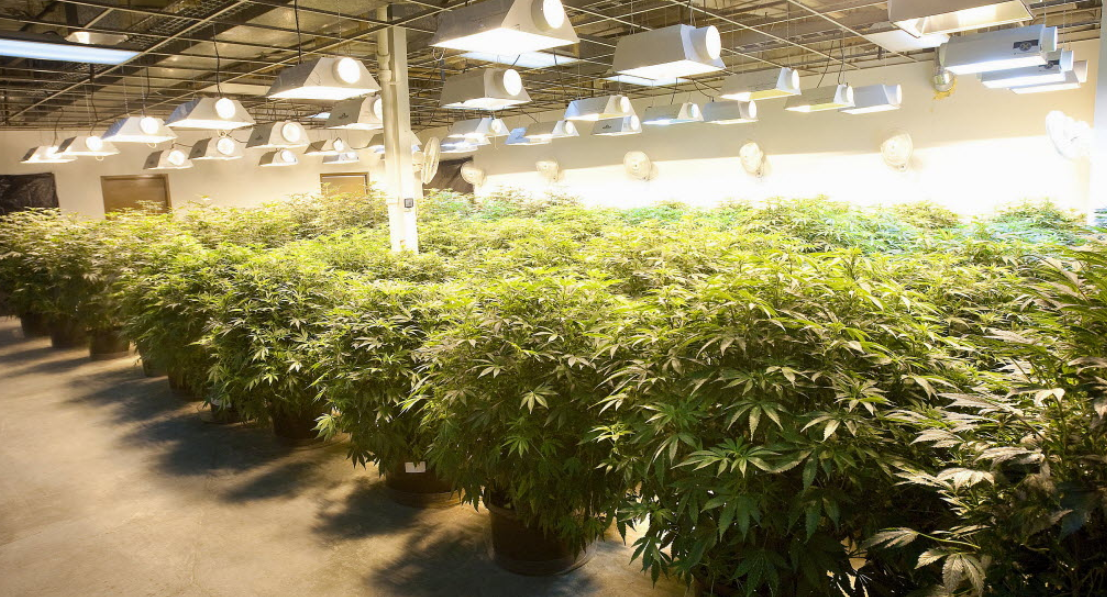 Grow Cannabis with Grow Lights