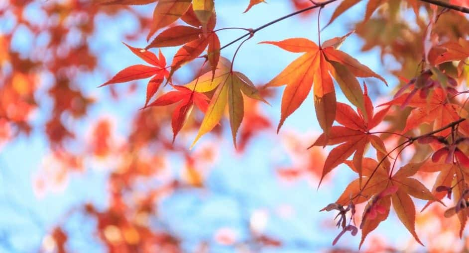 8 Curiosities About Maples