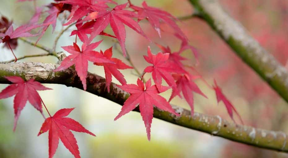 Japanese Maple Tree: You Want to Have in Your Garden