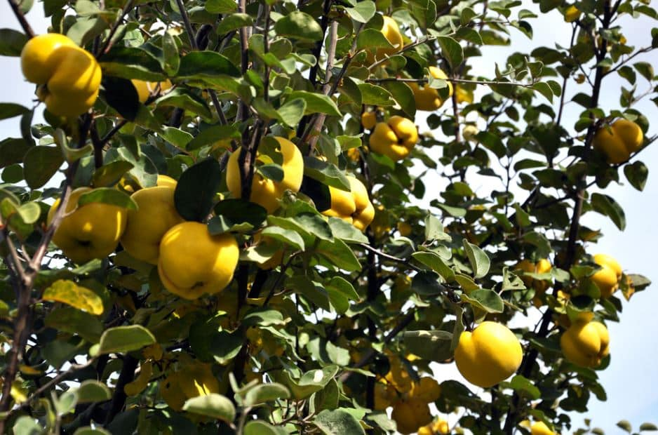 Quince: the Quince Tree
