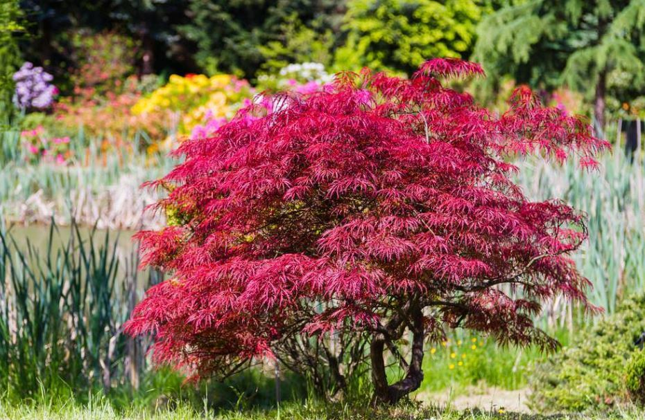 Selection of Maples for Your Garden
