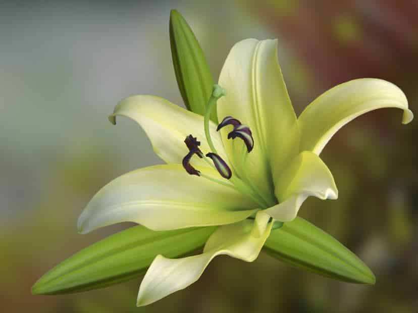 Stargazer Lily: Care and Growth Tips
