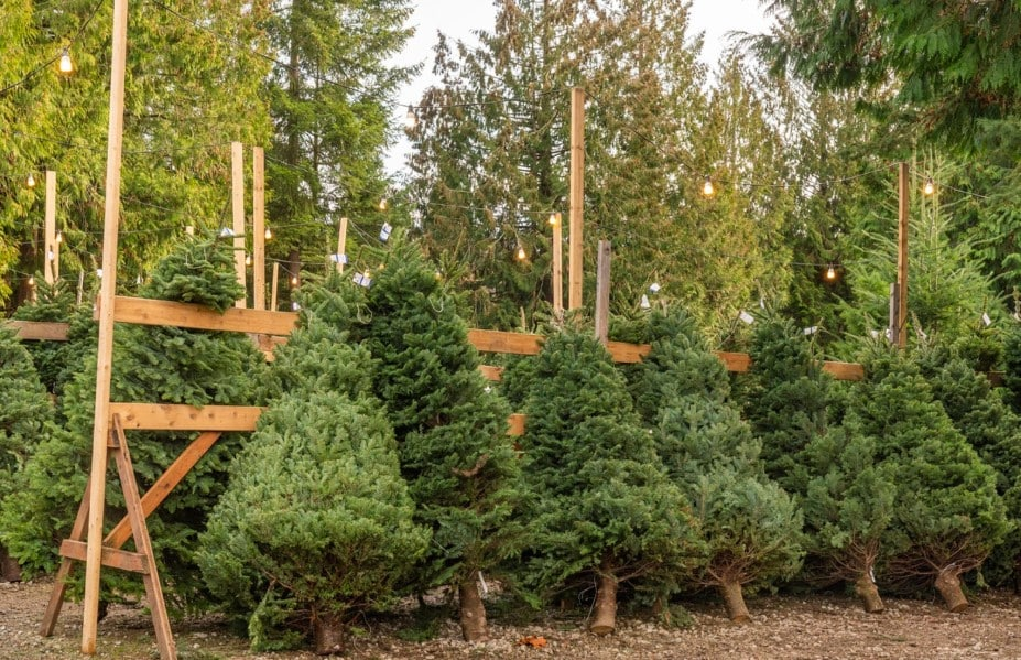7 Steps to Plant a Christmas Tree
