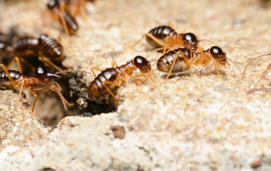 One Awesome Fact About Termites