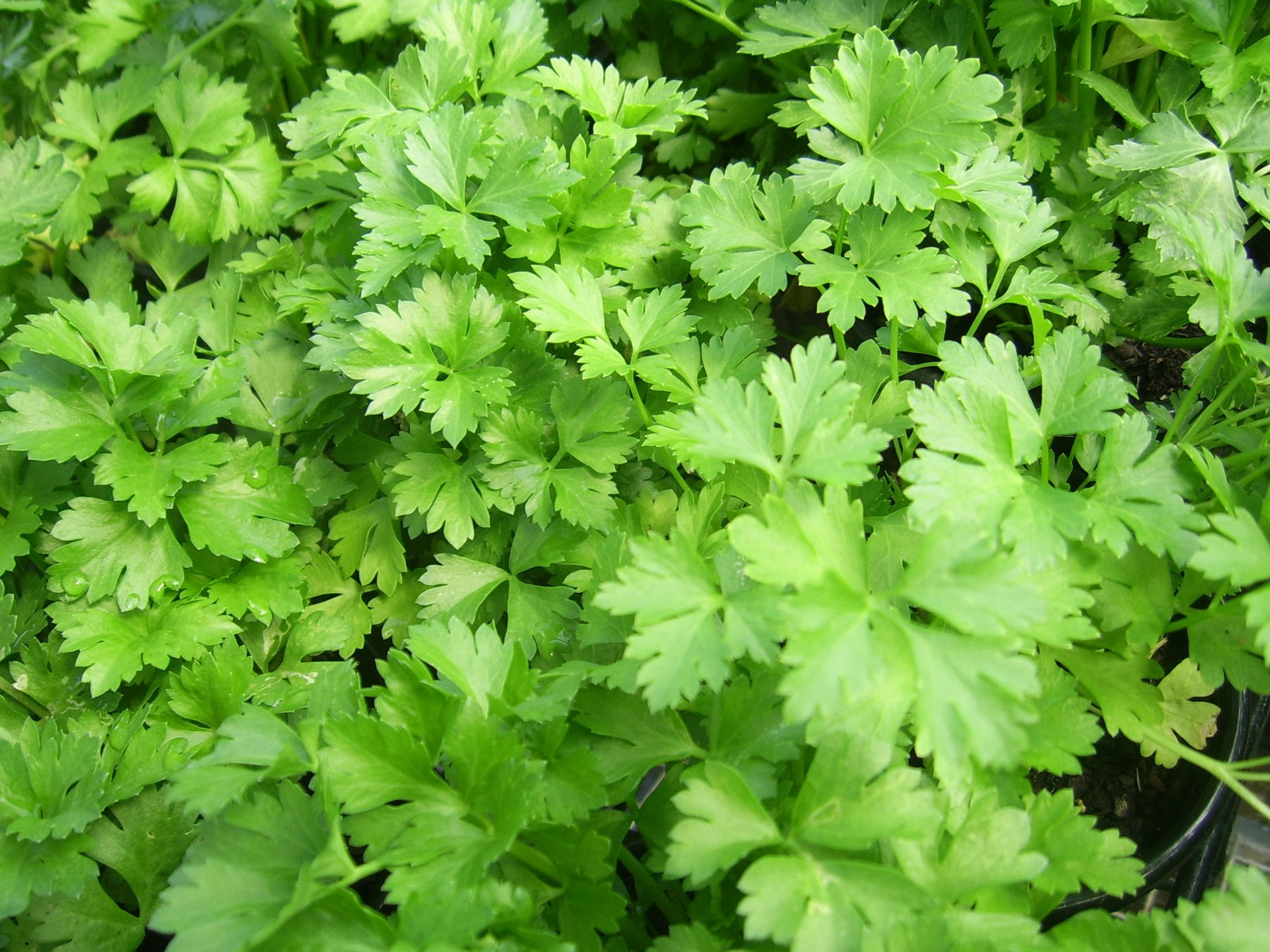 Everything You Need To Know About Growing Cilantro Indoors