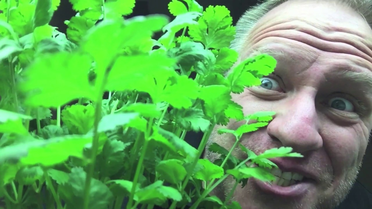 How to Grow Cilantro Indoors Through Hydroponics